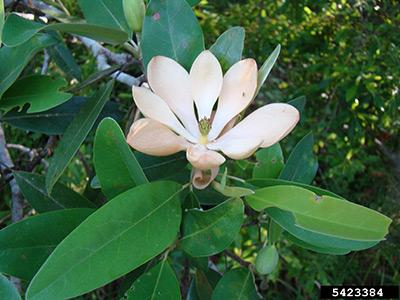 Alumna receives grants to study out-population magnolias in Polk County